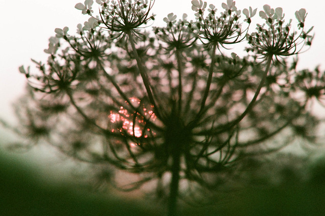 queen anne's lace in sunset
