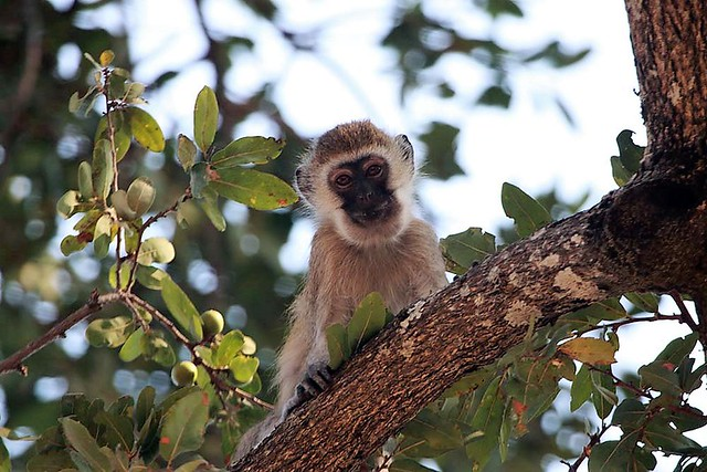 Vervet monkey, Mdonya Old River Camp, Ruaha National Park, Tanzania