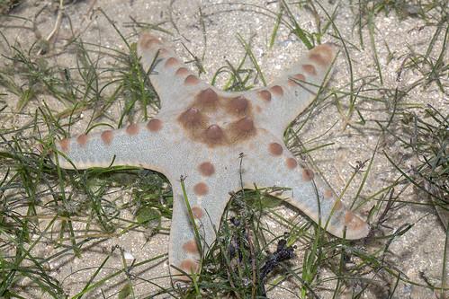 _Z2A2813 knobbly sea star