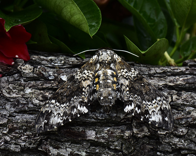 Rustic Sphinx Moth - (Manduca rustica)
