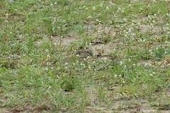 1.31152 Moineau de Shelley / Passer shelleyi / Shelley's Rufous-Sparrow