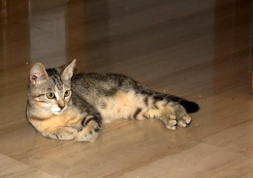 Virgo, ronroneador y guapo gatito pardo Tabby esterilizado, nacido en Mayo´19, en adopción. Valencia. 48454309346_bc03b43482