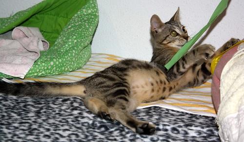 Virgo, ronroneador y guapo gatito pardo Tabby esterilizado, nacido en Mayo´19, en adopción. Valencia. 48454323446_018de68999