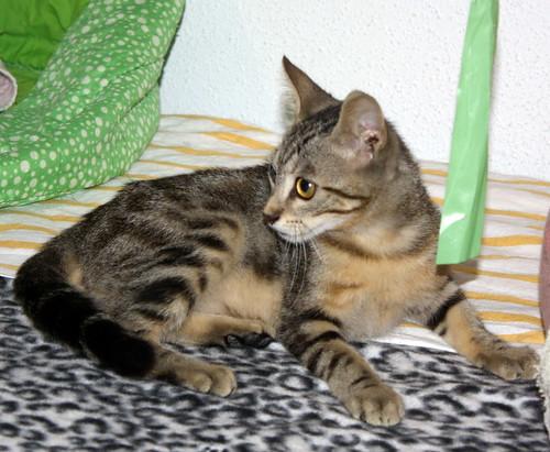 Virgo, ronroneador y guapo gatito pardo Tabby esterilizado, nacido en Mayo´19, en adopción. Valencia. 48454324236_7ea6083ce3