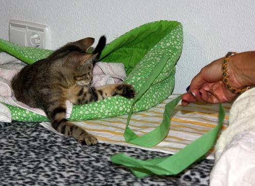 Virgo, ronroneador y guapo gatito pardo Tabby esterilizado, nacido en Mayo´19, en adopción. Valencia. 48454325561_8c746c81c9