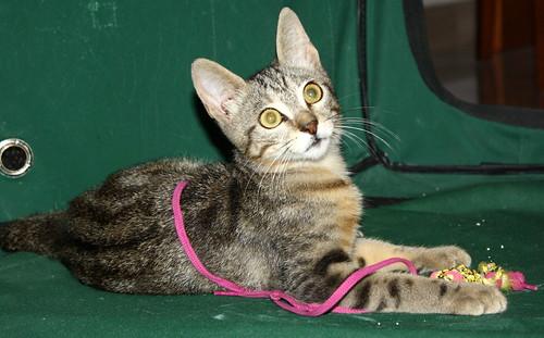 Virgo, ronroneador y guapo gatito pardo Tabby esterilizado, nacido en Mayo´19, en adopción. Valencia. 48454326751_9079e94c38