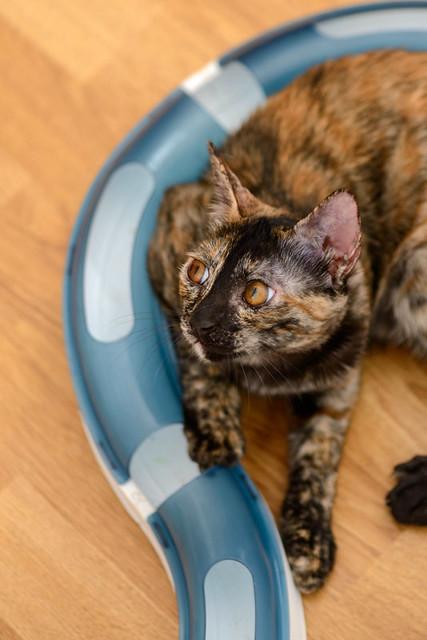 Narubi, gatita carey de cara bicolor amorosa esterilizada, nacida en Marzo´19, en adopción. Valencia RESERVADA. 48454369826_b3ce9c58c5_z