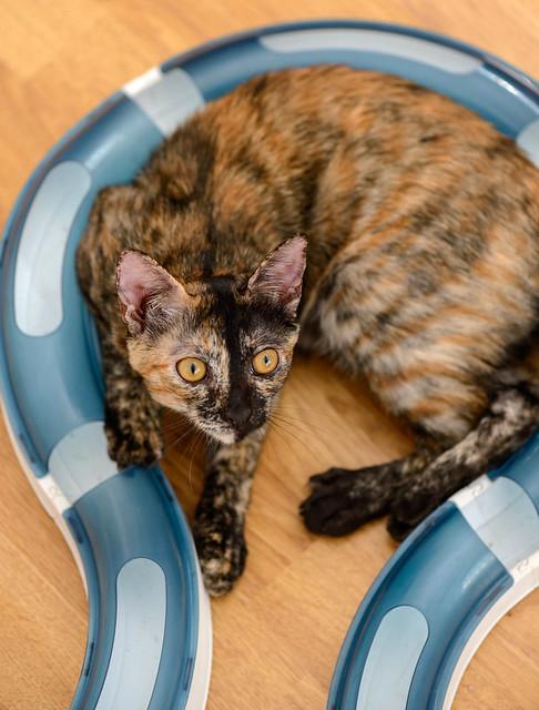 Narubi, gatita carey de cara bicolor amorosa esterilizada, nacida en Marzo´19, en adopción. Valencia RESERVADA. 48454373331_3ef11d9e1e_z