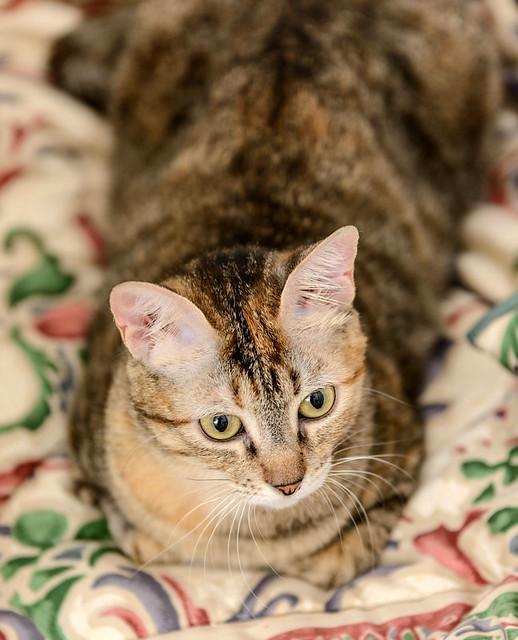 Rita, gatita parda con toques rubios dulzona y buena esterilizada, nacida en Enero´18 esterilizada, en adopción. Valencia. 48454387886_e0172dcd49_z