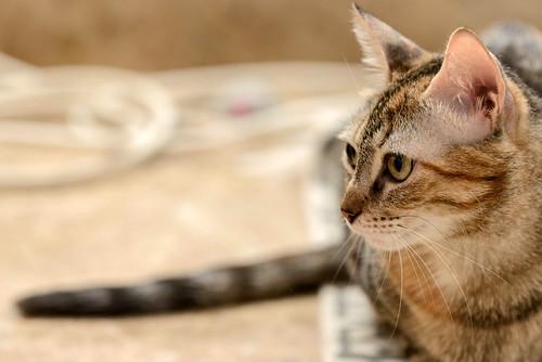 Rita, gatita parda con toques rubios dulzona y buena esterilizada, nacida en Enero´18 esterilizada, en adopción. Valencia. 48454389156_f68a273d5e