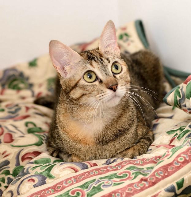 Rita, gatita parda con toques rubios dulzona y buena esterilizada, nacida en Enero´18 esterilizada, en adopción. Valencia. 48454392406_9cc065e037_z