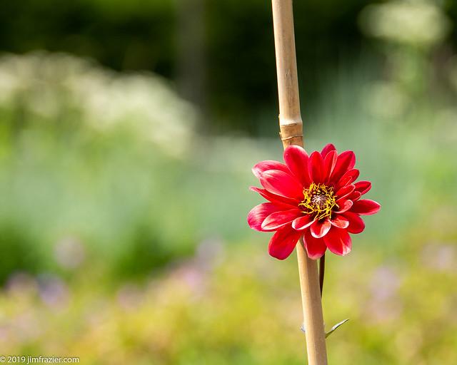 Dahlia on a Stick