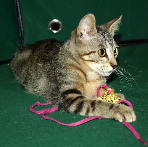 Virgo, ronroneador y guapo gatito pardo Tabby esterilizado, nacido en Mayo´19, en adopción. Valencia. 48454458137_b1f51afafc