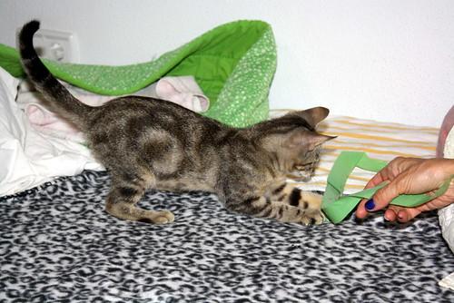 Virgo, ronroneador y guapo gatito pardo Tabby esterilizado, nacido en Mayo´19, en adopción. Valencia. 48454481662_8bc4b3571b