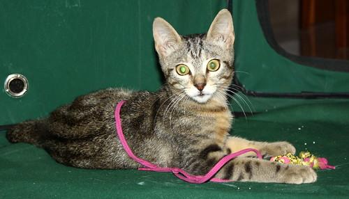 Virgo, ronroneador y guapo gatito pardo Tabby esterilizado, nacido en Mayo´19, en adopción. Valencia. 48454482932_18d48c7d06