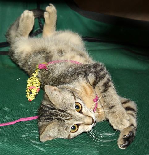 Virgo, ronroneador y guapo gatito pardo Tabby esterilizado, nacido en Mayo´19, en adopción. Valencia. 48454486002_d1f08d25a2