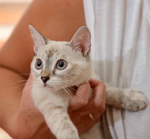 Karina, gatita siamesa tabby preciosa, tímida y muy juguetona esterilizada nacida en Marzo´19, en adopción. Valencia. ADOPTADA. 48454504267_4753bfd555