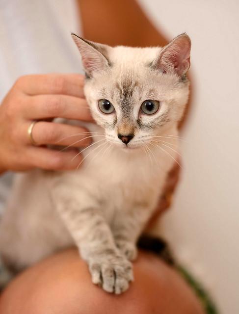 Karina, gatita siamesa tabby preciosa, tímida y muy juguetona esterilizada nacida en Marzo´19, en adopción. Valencia. ADOPTADA. 48454505027_3021b60973_z