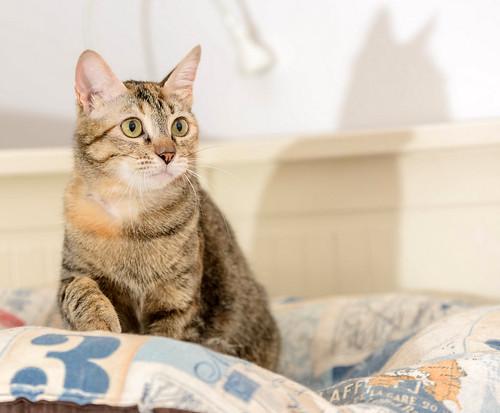 Rita, gatita parda con toques rubios dulzona y buena esterilizada, nacida en Enero´18 esterilizada, en adopción. Valencia. 48454548267_85529ea6fa