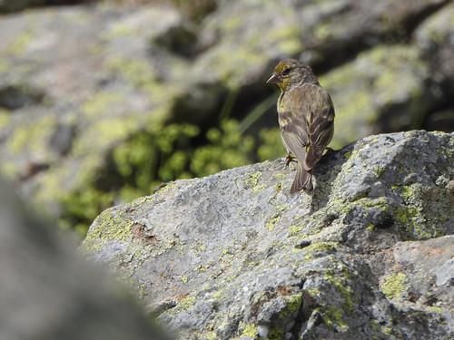 Venturon montagnard - Citril Finch - Carduelis citrinella | by willy.hugedet