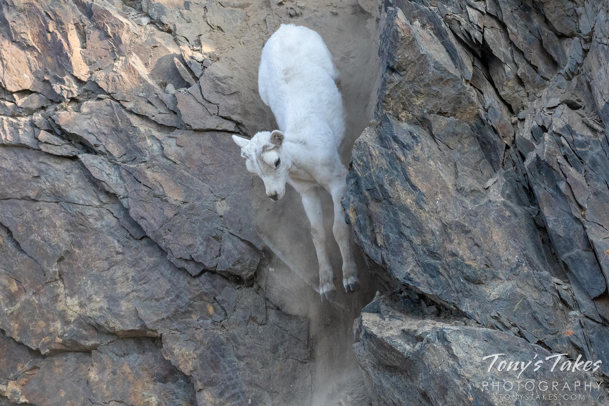 Dall sheep lamb takes a big leap