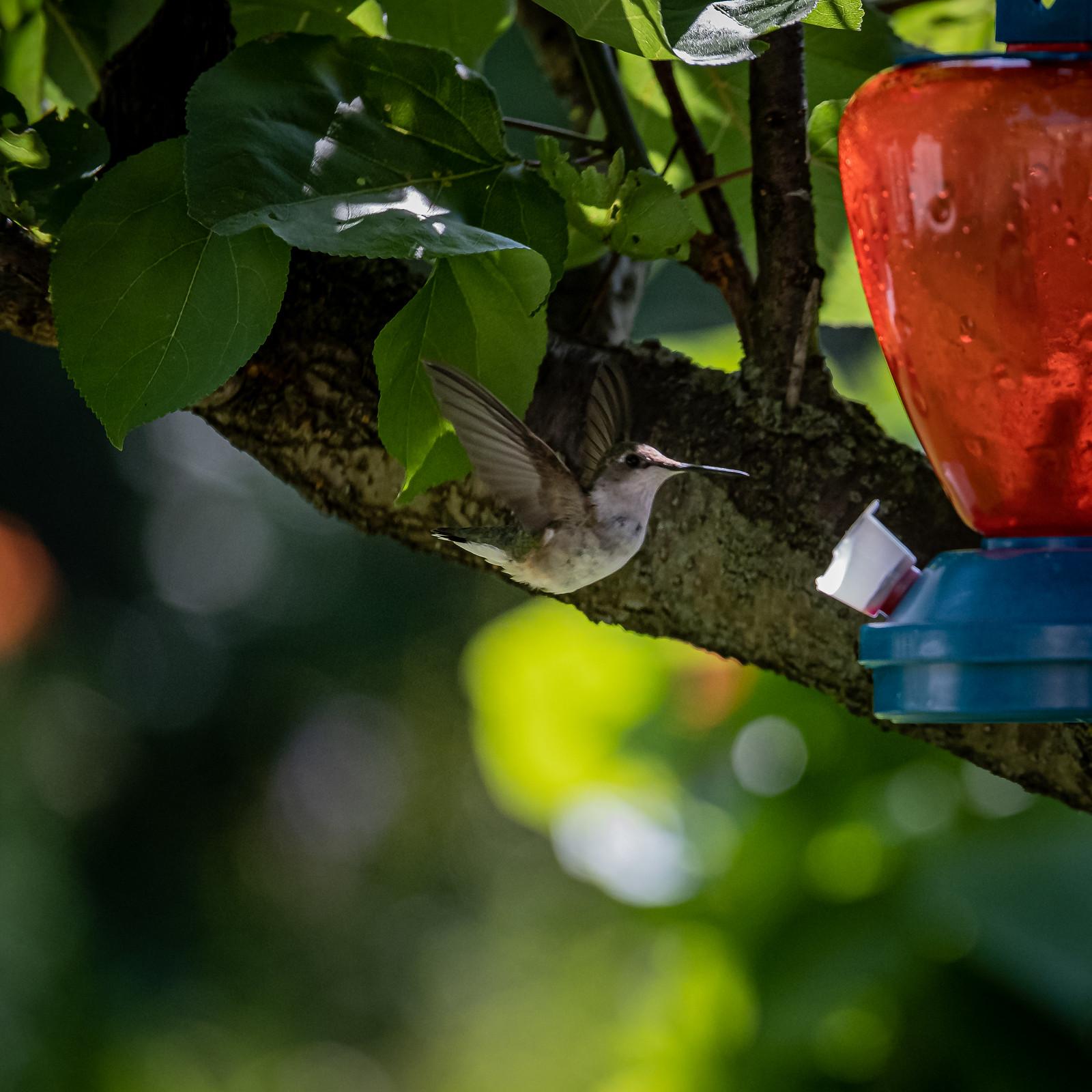 HummingBird 20190804-1658.jpg
