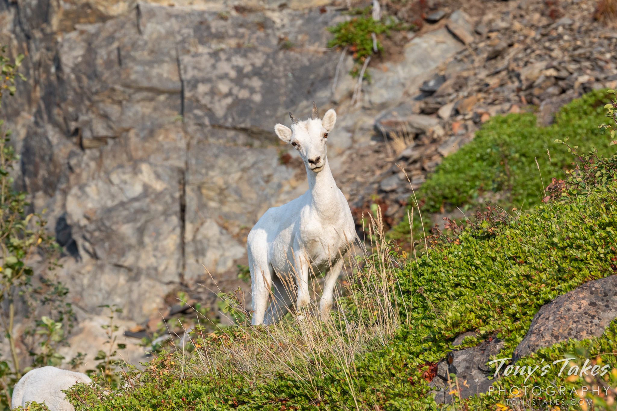 Curious little dall sheep