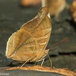 Leafwing - Darien - Panama CD5A2413
