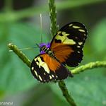 Heliconian ( Tiger Longwin ) - Darien - Panama