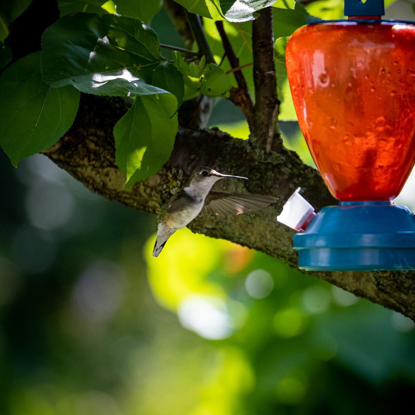 HummingBird 20190804-1659.jpg