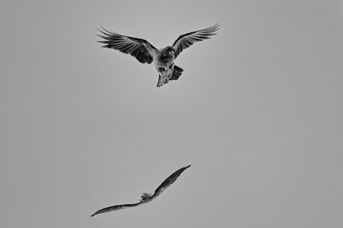Пустельга, Falco tinnunculus tinnunculus, Common Kestrel, Серая ворона, Corvus cornix cornix, Hooded Crow | by Oleg Nomad