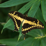 Swallowtail - Darien - Panama CD5A8023