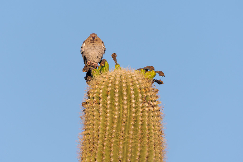 A squinting white-winged dove, its faced caked with pulp and juice, perches on saguaro fruit atop the cactus beside the Jane Rau Trail in the Brown's Ranch area of McDowell Sonoran Preserve in Scottsdale, Arizona in July 2019