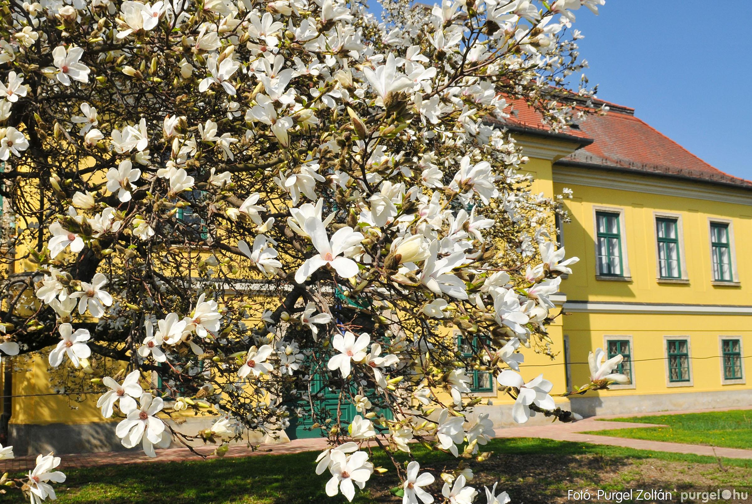 2018.04.08. 003 Virágzik a magnólia a kastély előtt - Fotó:PURGEL ZOLTÁN© D3K_2606q.jpg