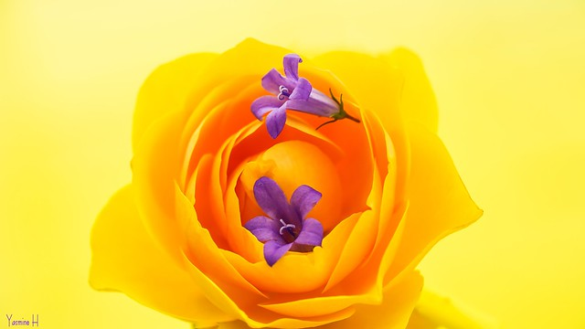 Yellow Violet Complementary Colours - 7187