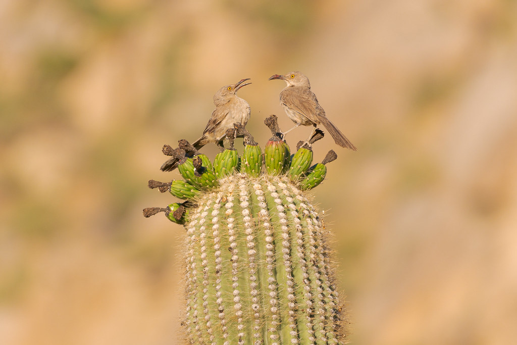 Two curve-billed thrashers perch atop the fruits of a saguaro, both of their beaks caked in dried pulp, as one eats as the other watches on the Marcus Landslide Trail in McDowell Sonoran Preserve in Scottsdale, Arizona in July 2019