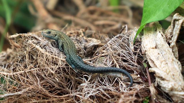 Riverbank Lizard! [Explored!]