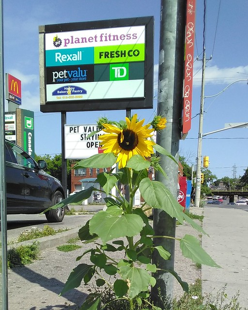 Sunflower by the Galleria (1) #toronto #galleriamall #dufferinstreet #dupontstreet #flowers #sunflowers #sidewalk #pavement