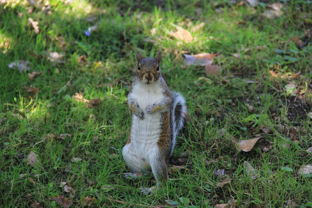 Squirrel, Grosvenor Park, Chester