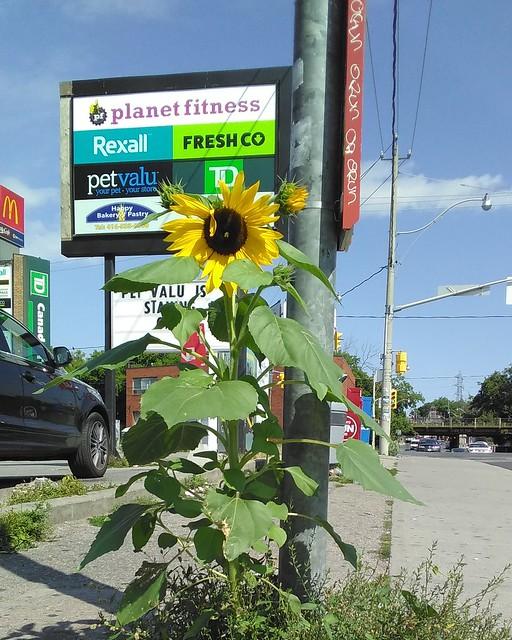 Sunflower by the Galleria (2) #toronto #galleriamall #dufferinstreet #dupontstreet #flowers #sunflowers #sidewalk #pavement