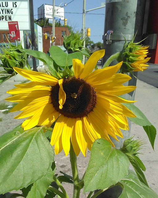 Sunflower by the Galleria (3) #toronto #galleriamall #dufferinstreet #dupontstreet #flowers #sunflowers #sidewalk #pavement #bees