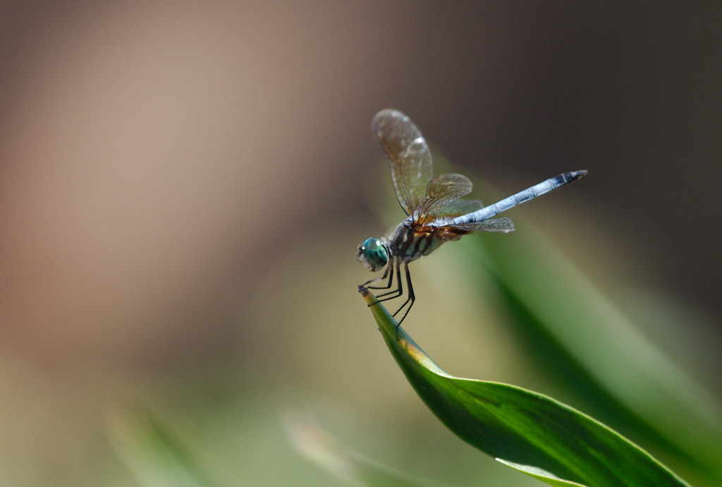dragonfly13