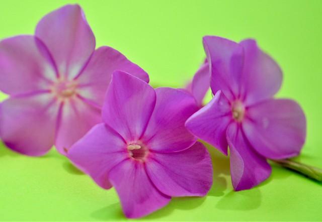 Phlox Petals