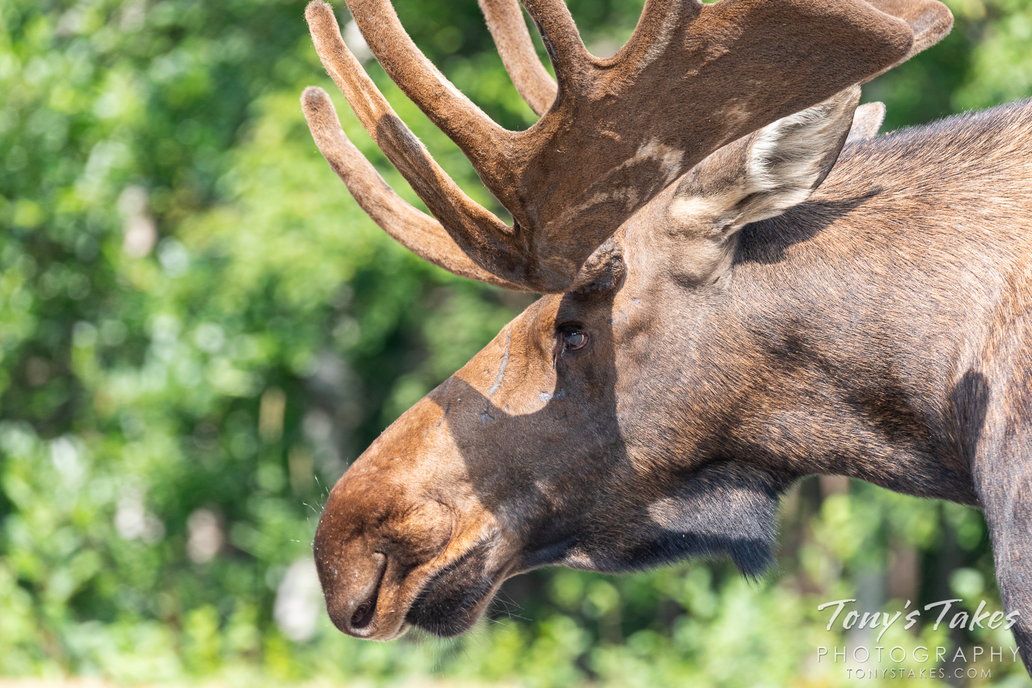 A moose bull strolls down the streets of Anchorage, Alaska. (© Tony's Takes)
