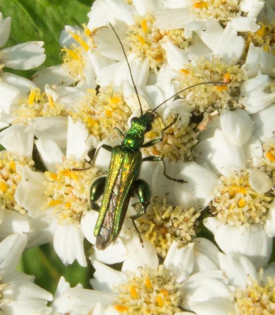 Oedemera (Oedemera) nobilis 2019-07-16