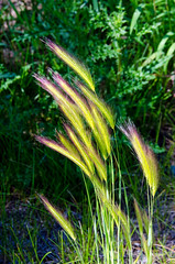 Foxtail Barley (Hardeum jubatum  DSC_0004_edited-1