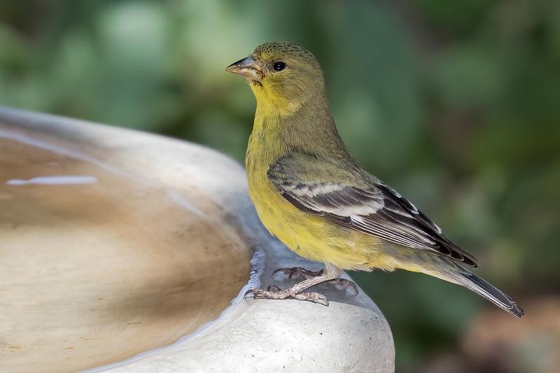 Lesser-Gold-Finch-20-7D2-072319