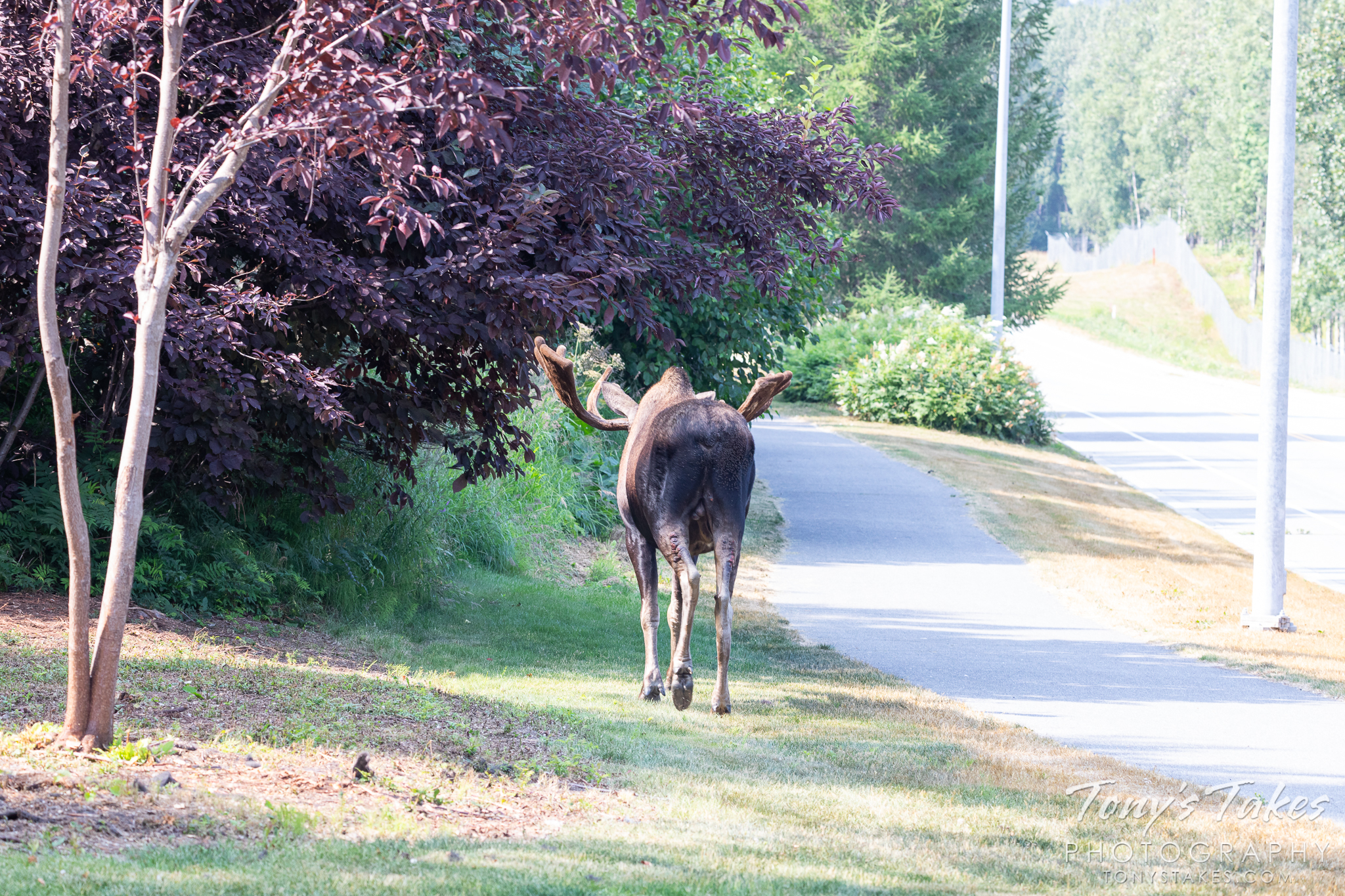 A moose bull strolls through the suburbs of Anchorage, Alaska. (© Tony's Takes)