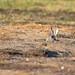 Králík divoký ( Oryctolagus cuniculus)