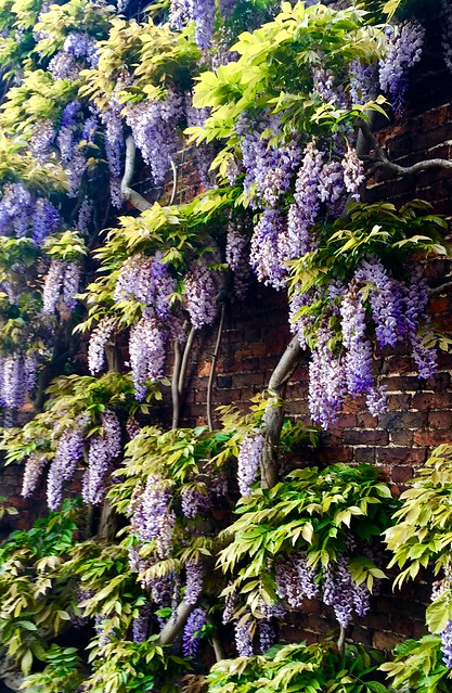Wisteria wall at Hampton Court Palace in England.